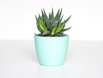 A green succulent plant planted in a blue pot on a white background